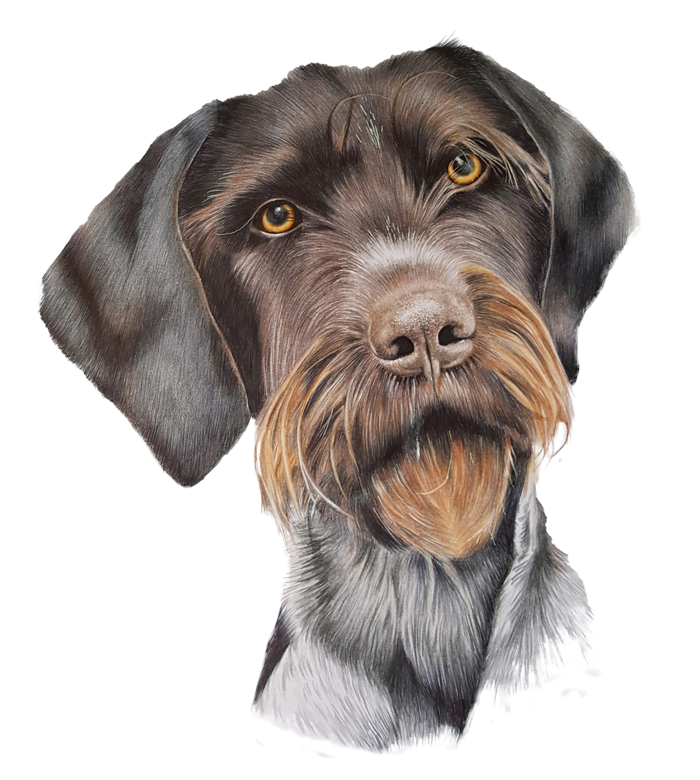German Wirehaired Pointer | Niki Firmin